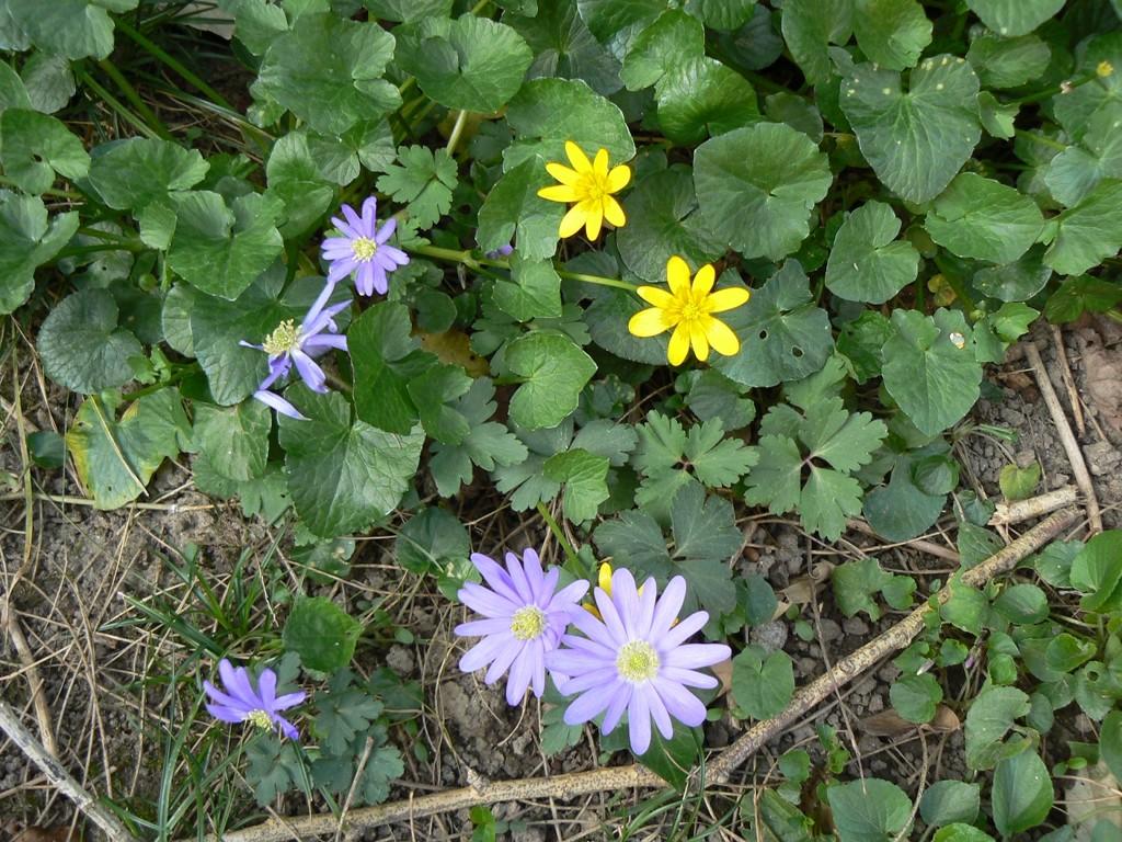 Ficaria ranunculoides et Anemone blanda