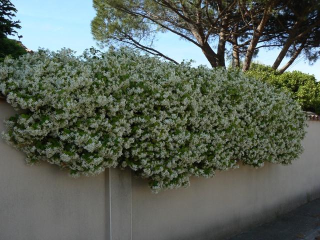Planté côté nord , le trachelospermum s'est généreusement développé côté sud!