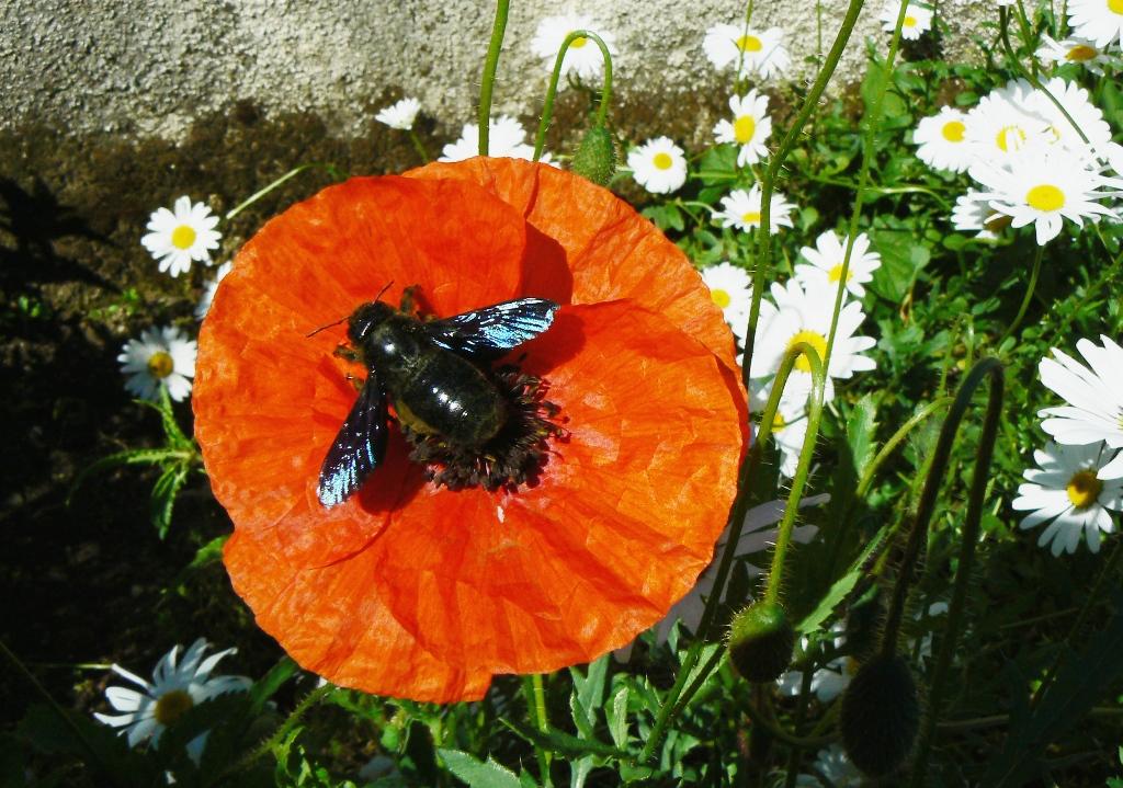 Ni bourdon, ni frelon. Une abeille solitaire.