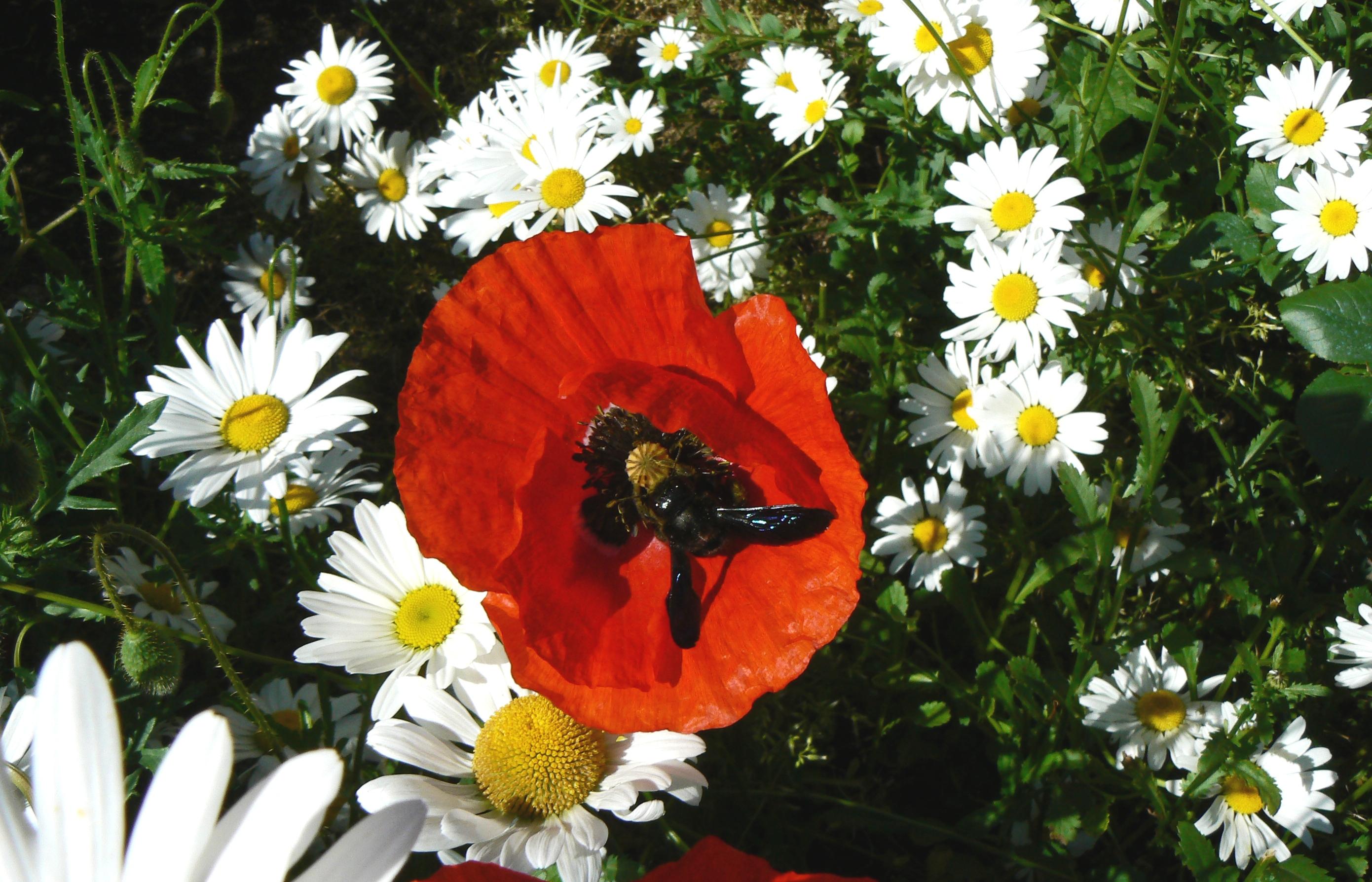 Xylocope ou abeille charpentière...pacifique et utile