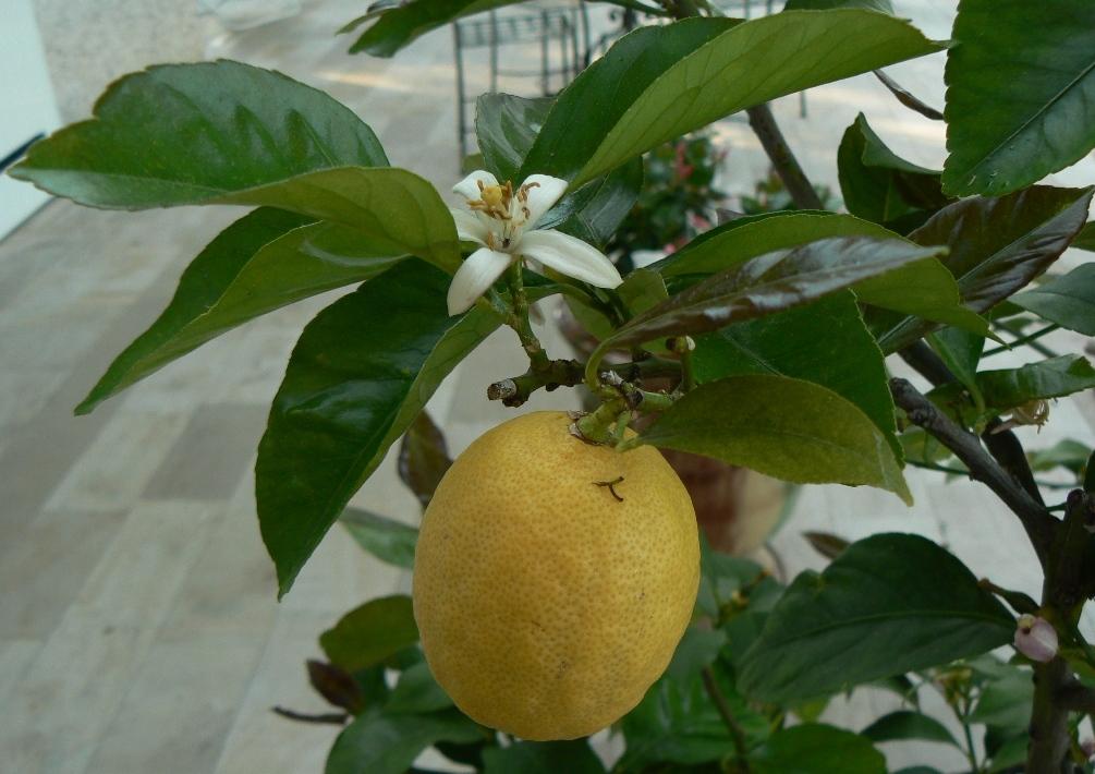 Citrus fleurs et fruit.