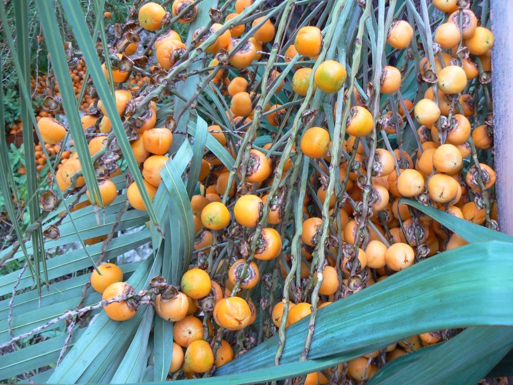 Le régime de fruits est déjà éclairci par une seconde cueillette