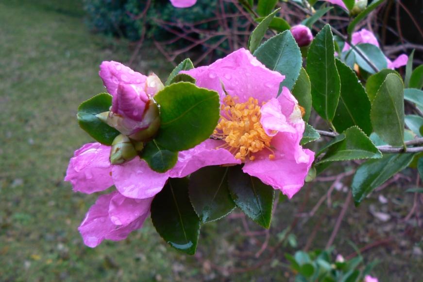 Une variété à fleurs simples, délicatement parfumées, encore plus émouvantes après la pluie...