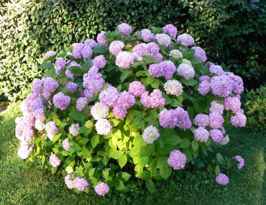 L'hortensia qui pose le plus de questions! C'est Hydrangea macrophylla.