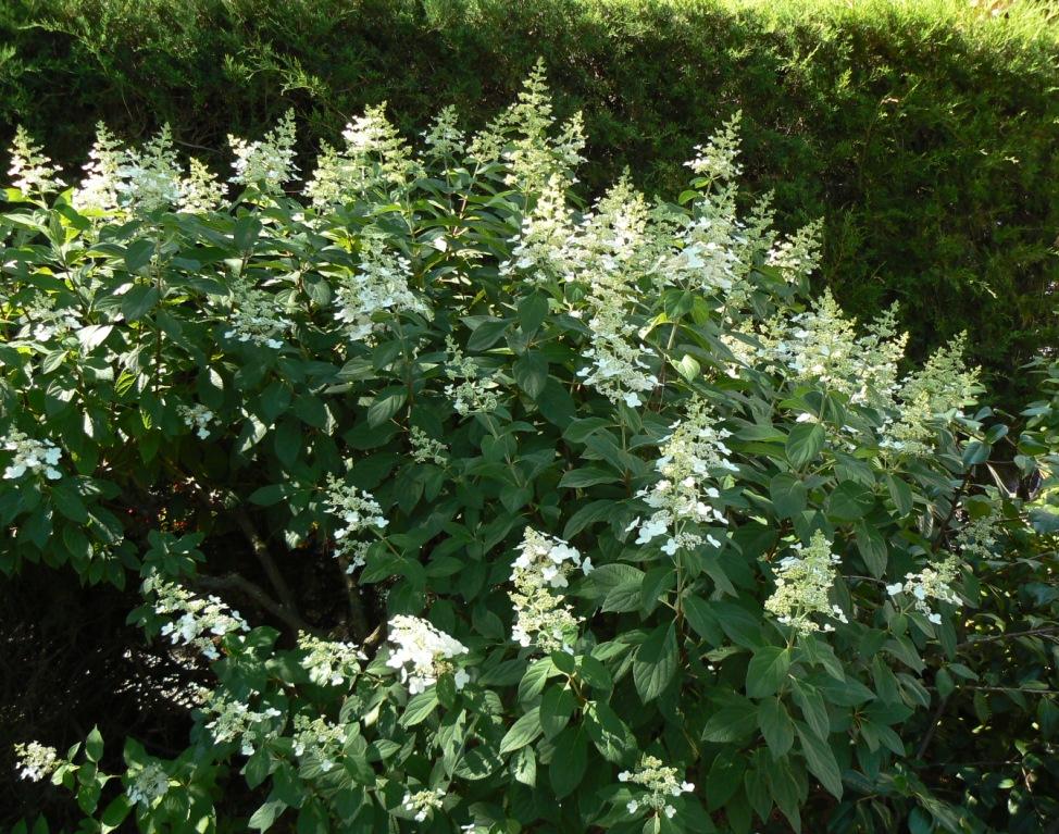 """Cet """"Hortensia"""" pas comme les autres vit vieux, comme un petit arbre ramifié. Ici en début de floraison."""