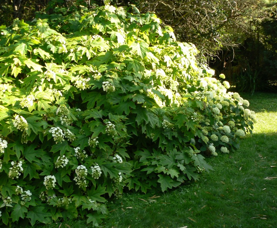 Hydrangea quercifolia au premier plan.