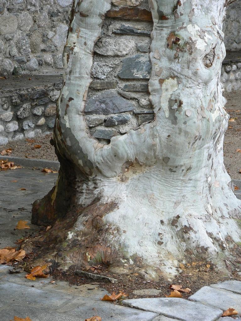 Dilemme pour l'arbre urbain...