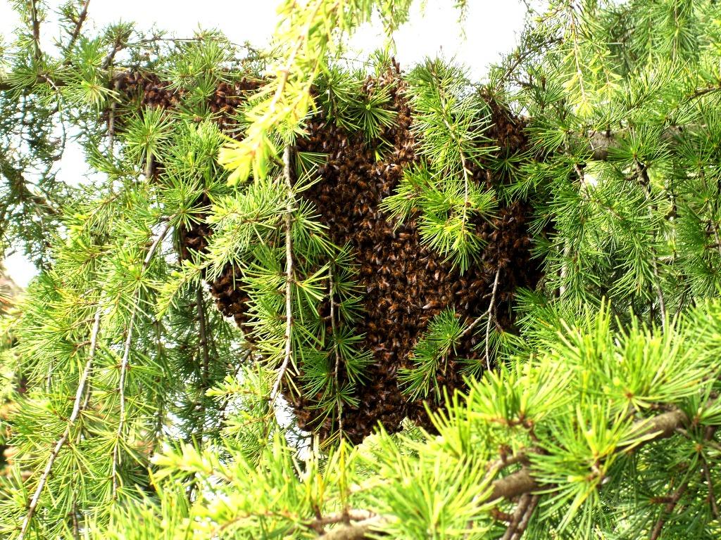 L'essaim se rassemble dans un jeune cèdre , à 2 m de hauteur (Photo Myriam SBau)