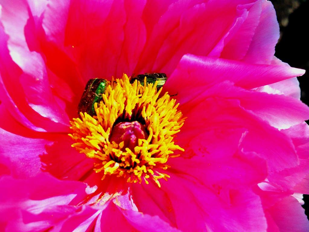 Cétoines : du pollen à tous les repas.