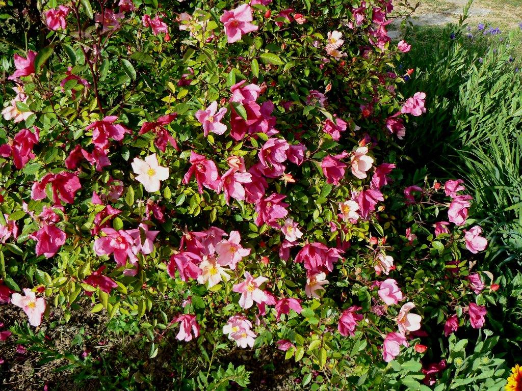 """Cet """"églantier"""" d'origine chinoise est impressionnant par l'abondance de ses fleurs"""