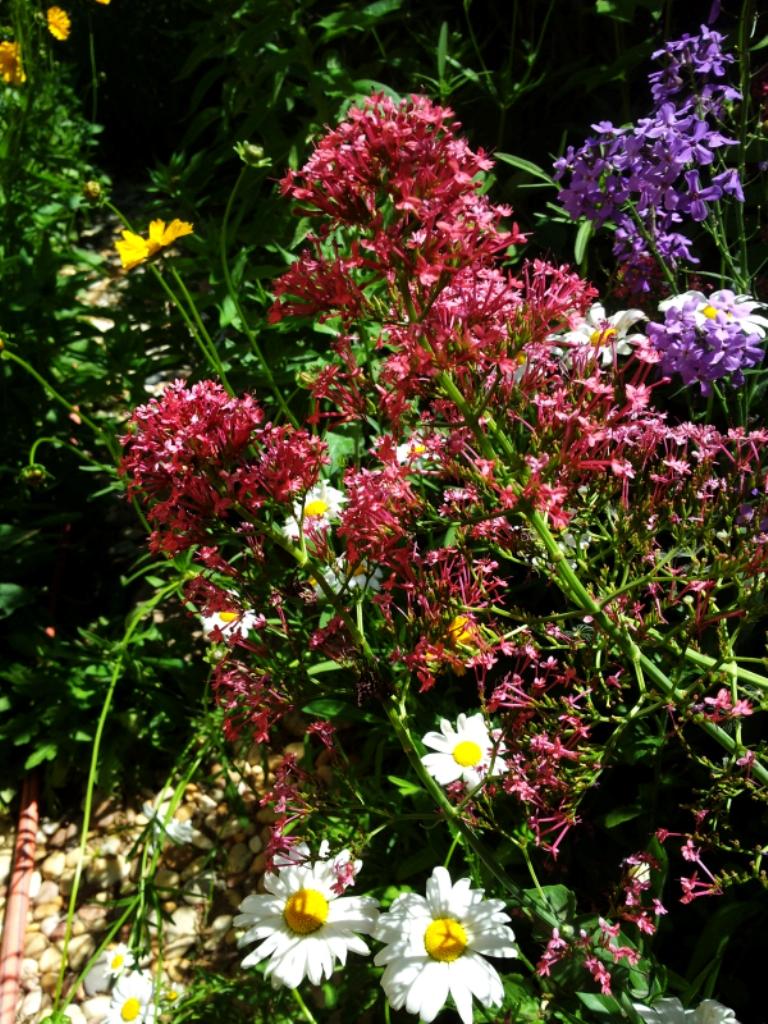 La valériane ou Lilas d'Espagne. Toutes les nuances du blanc au rose et au existent. rouge