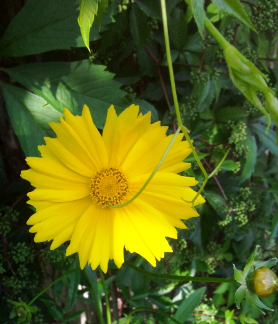 Les coreopsis et bien d'autres fleurs de la même famille apportent de la lumière.