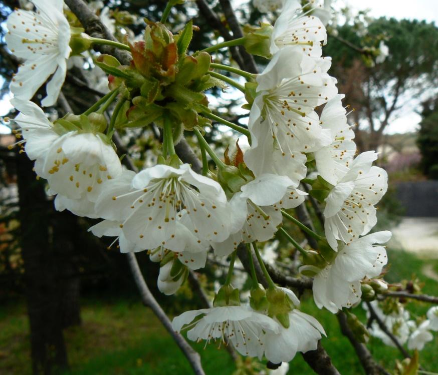 Le cerisier est en fleurs. Entre symbole éternel et espoir de consommation....