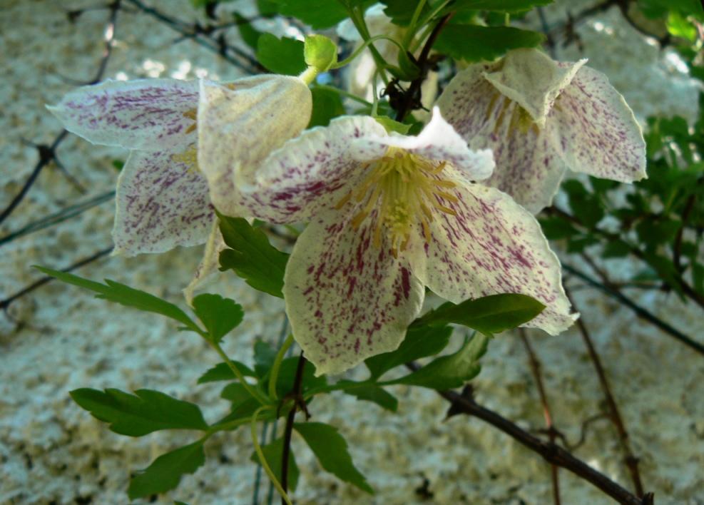 La plante n'a qu'un aspect de fragilité. Elle est très endurante. Actuellement couverte de clochette de soie comme fripée ...
