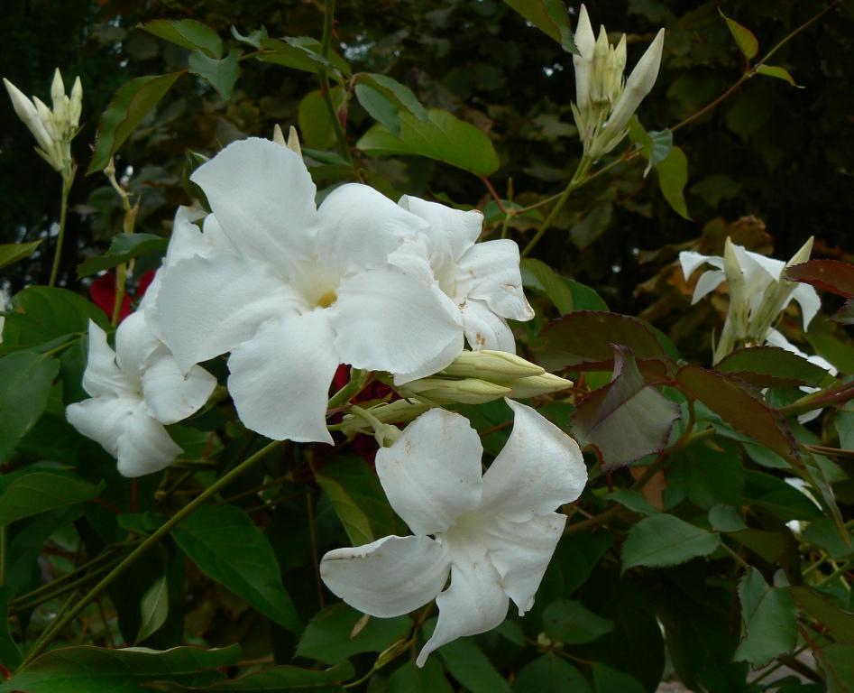 Le Mandevilla laxa, très parfumé, disparait pendant l'hiver. Pour reprendre 3 m et plus au printemps!