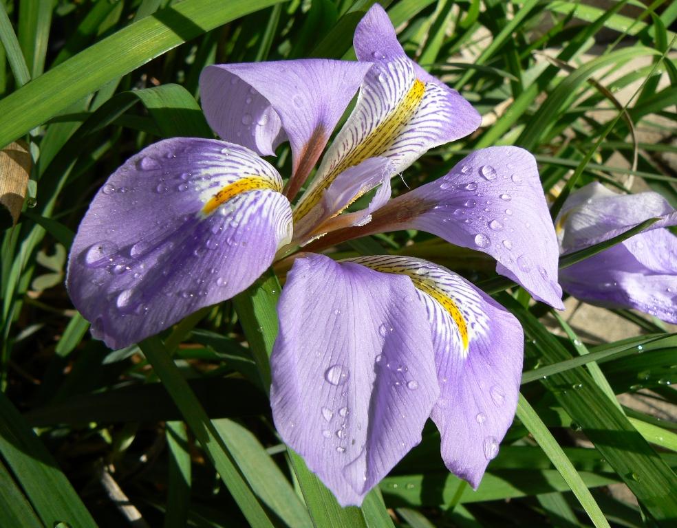 Un miracle d'hiver, loin de nos grands iris des jardins (germanica).
