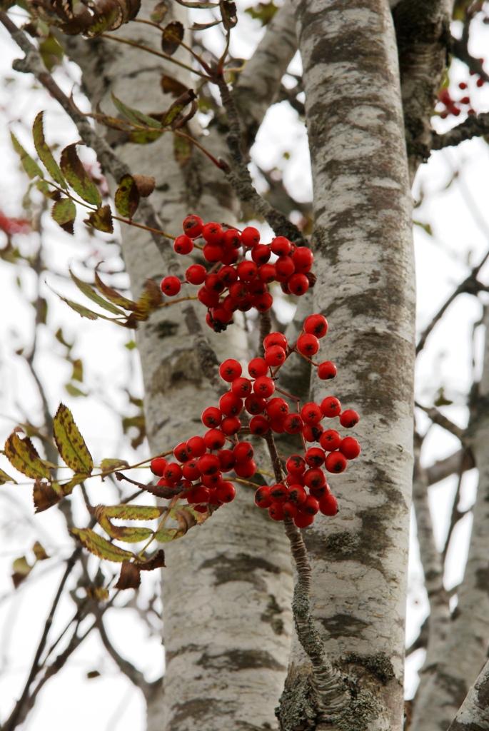 Les fruits du sorbier des oiseleurs en Aveyron.