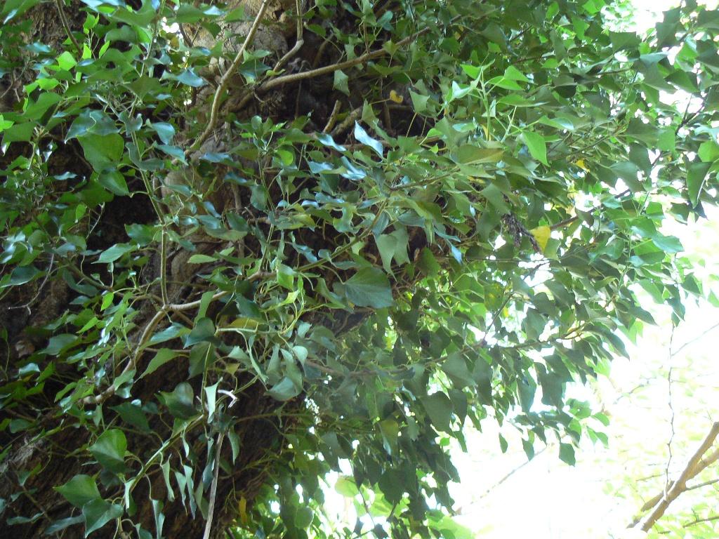 Le lierre accompagne la croissance et le vieillissement de l'arbre.